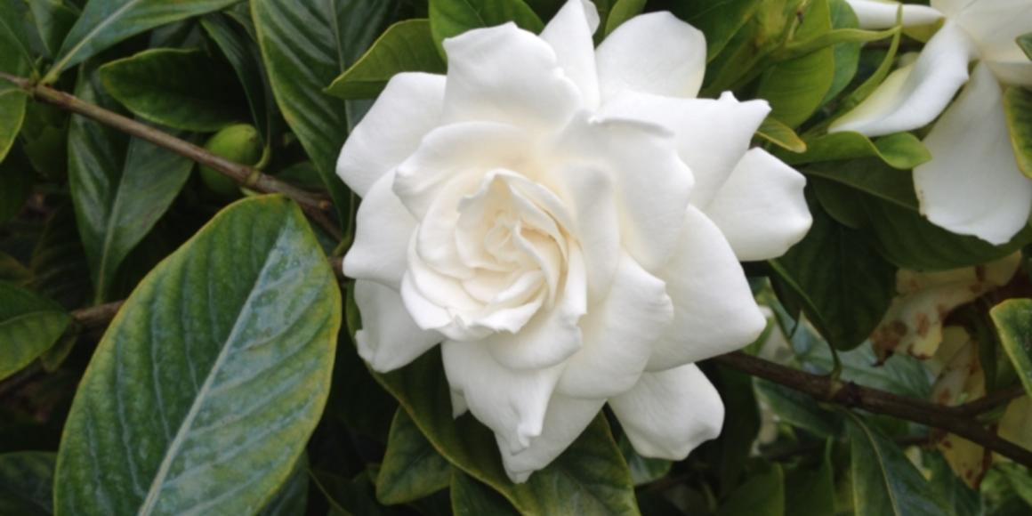 Gardenia National Flower